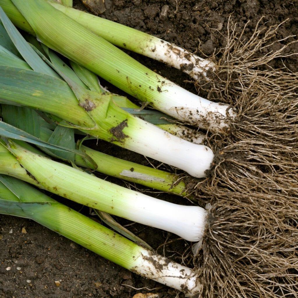 Prei kweken vanuit zaad