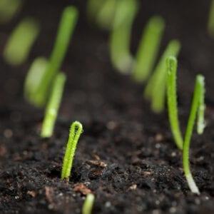 Uien kweken vanuit zaad
