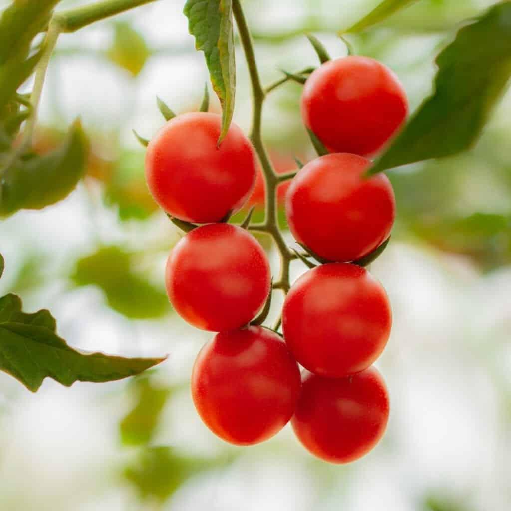 Tomaten zaden